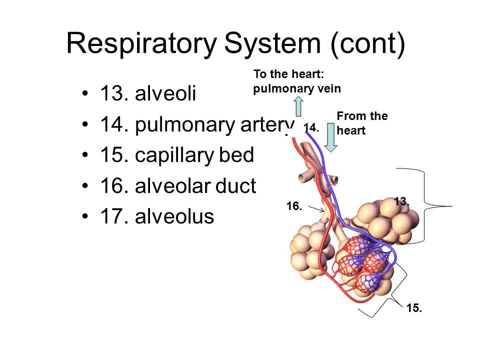 Respiratory System (cont) 13. alveoli 14. pulmonary artery 15.