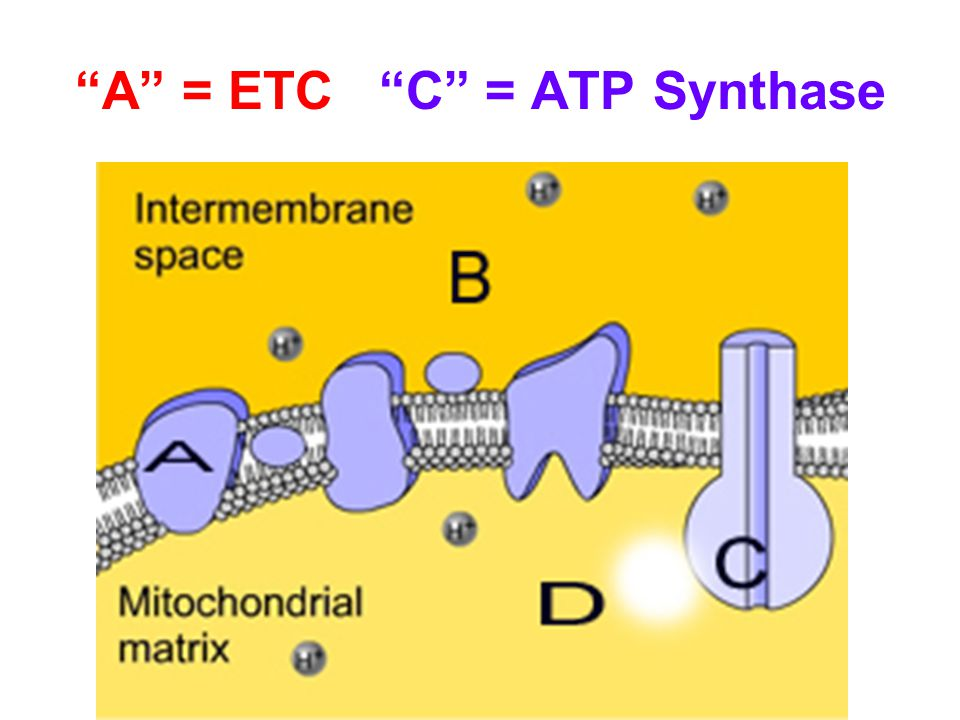 A = ETC C = ATP Synthase