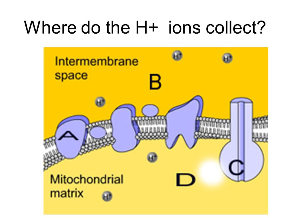 Where do the H+ ions collect