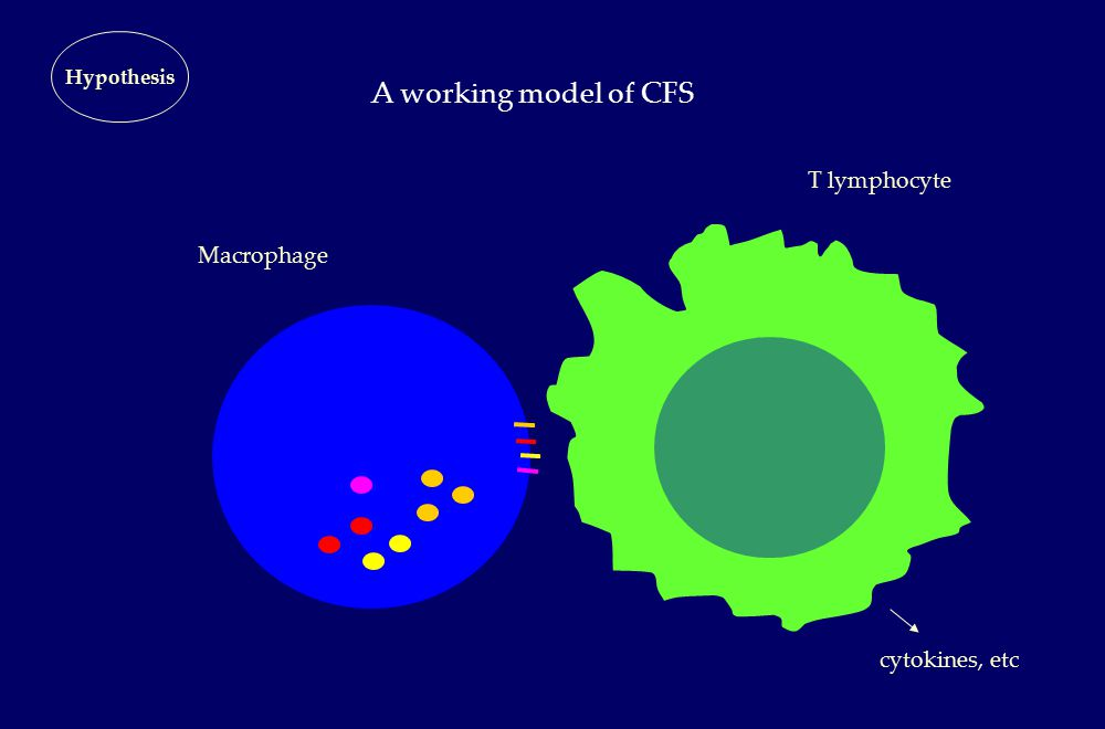 A working model of CFS Hypothesis Macrophage T lymphocyte cytokines, etc