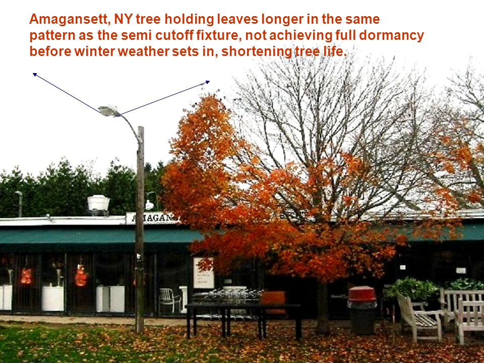 Amagansett tree holding leaves longer in the same pattern as the semi cutoff fixture Amagansett, NY tree holding leaves longer in the same pattern as the semi cutoff fixture, not achieving full dormancy before winter weather sets in, shortening tree life.
