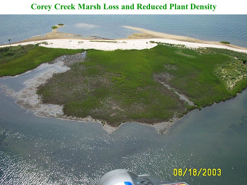 Corey Creek Marsh Loss and Reduced Plant Density