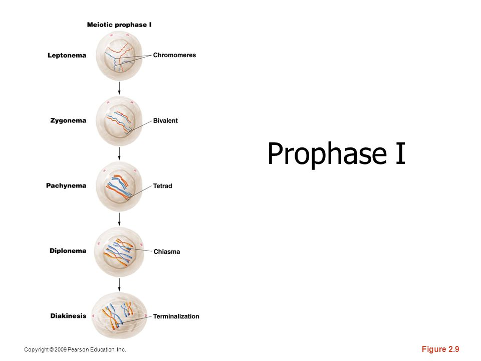 Copyright © 2009 Pearson Education, Inc. Figure 2.9 Prophase I