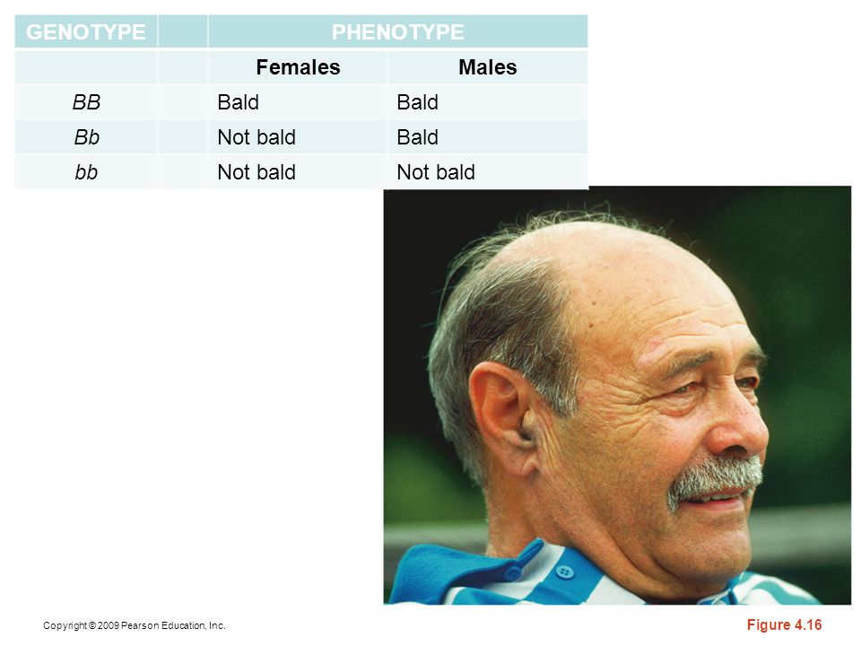 Copyright © 2009 Pearson Education, Inc. Figure 4.16 GENOTYPEPHENOTYPE FemalesMales BBBald BbNot baldBald bbNot bald