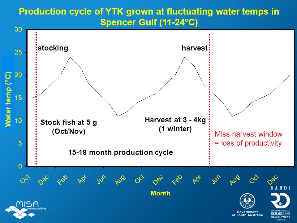 Production cycle of YTK grown at fluctuating water temps in Spencer Gulf (11-24°C) harveststocking Miss harvest window = loss of productivity Stock fi