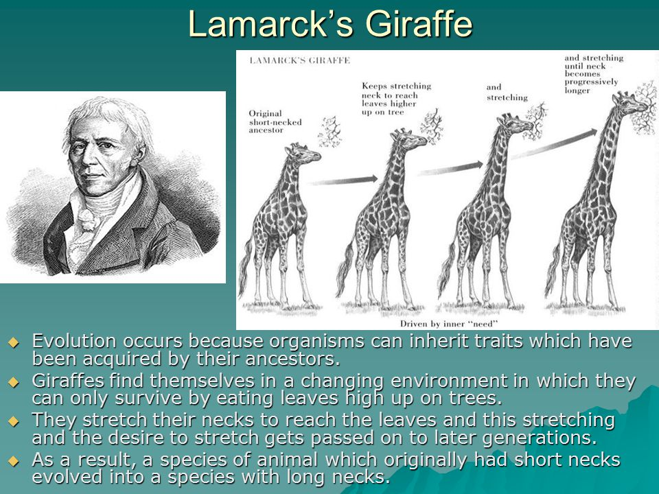 Lamarck's Giraffe  Evolution occurs because organisms can inherit traits which have been acquired by their ancestors.  Giraffes find themselves in a