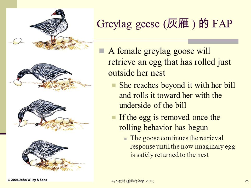 Ayo 教材 ( 動物行為學 2010) 25 Greylag geese ( 灰雁 ) 的 FAP A female greylag goose will retrieve an egg that has rolled just outside her nest She reaches beyon