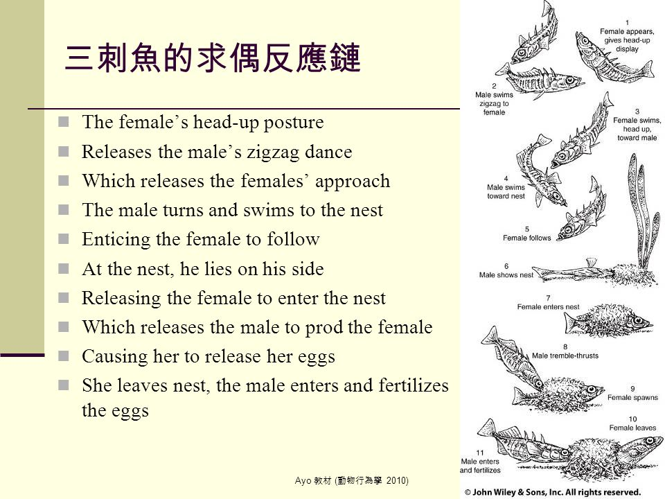 Ayo 教材 ( 動物行為學 2010) 35 三刺魚的求偶反應鏈 The female's head-up posture Releases the male's zigzag dance Which releases the females' approach The male turns an