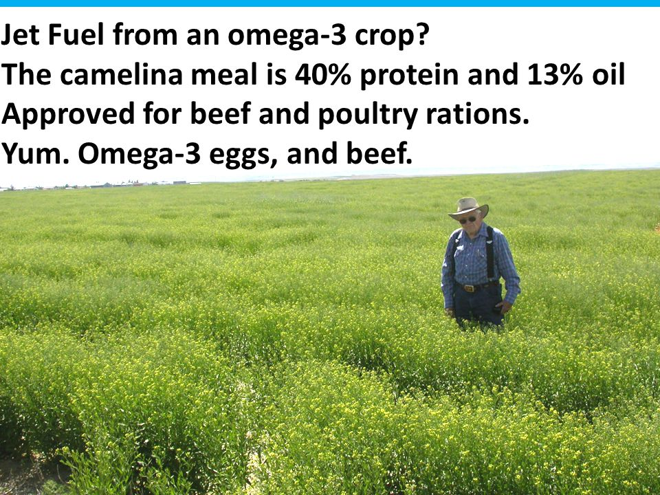 Jet Fuel from an omega-3 crop? The camelina meal is 40% protein and 13% oil Approved for beef and poultry rations. Yum. Omega-3 eggs, and beef.