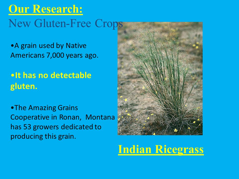 A grain used by Native Americans 7,000 years ago. It has no detectable gluten. The Amazing Grains Cooperative in Ronan, Montana has 53 growers dedicat
