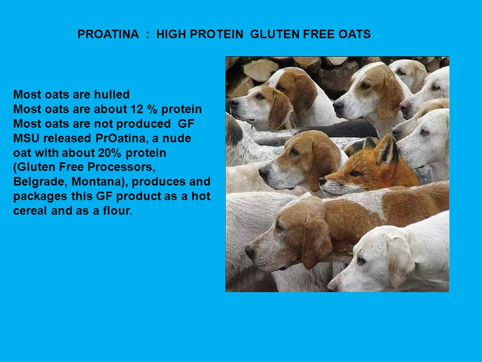 Most oats are hulled Most oats are about 12 % protein Most oats are not produced GF MSU released PrOatina, a nude oat with about 20% protein (Gluten Free Processors, Belgrade, Montana), produces and packages this GF product as a hot cereal and as a flour.