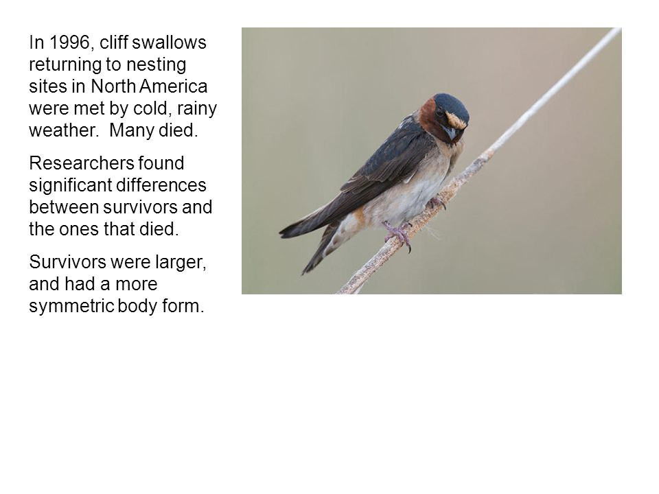 In 1996, cliff swallows returning to nesting sites in North America were met by cold, rainy weather.