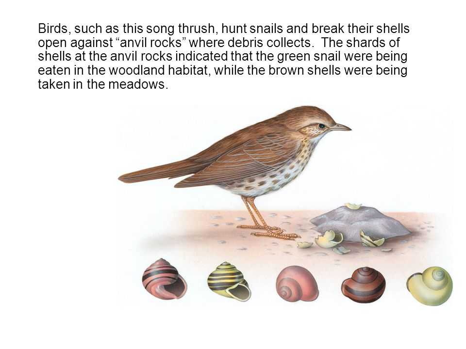 Birds, such as this song thrush, hunt snails and break their shells open against anvil rocks where debris collects.