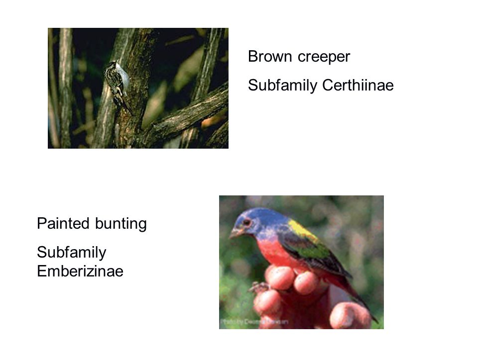 Brown creeper Subfamily Certhiinae Painted bunting Subfamily Emberizinae