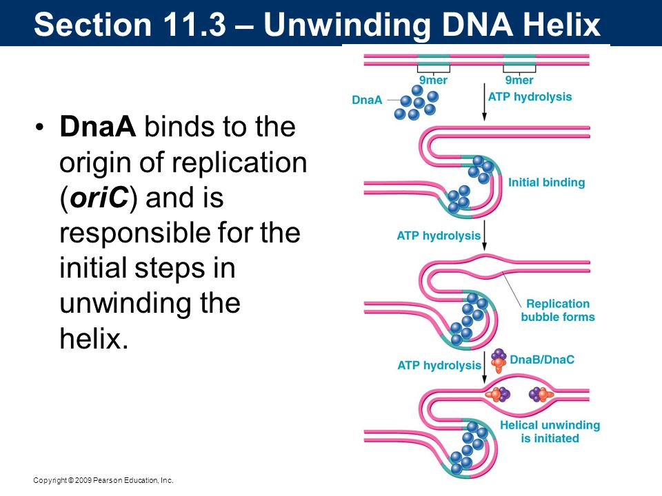 Copyright © 2009 Pearson Education, Inc. DnaA binds to the origin of replication (oriC) and is responsible for the initial steps in unwinding the heli