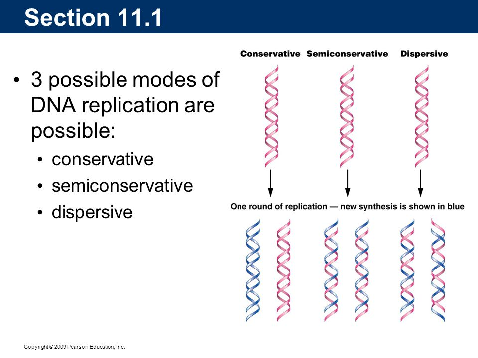 Copyright © 2009 Pearson Education, Inc. 3 possible modes of DNA replication are possible: conservative semiconservative dispersive Section 11.1