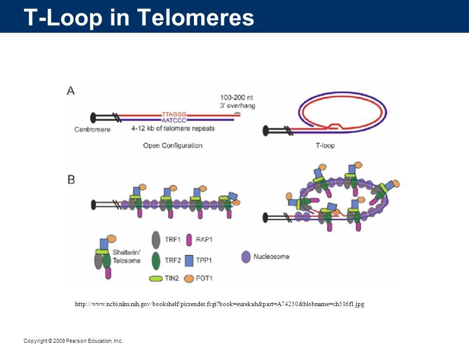 Copyright © 2009 Pearson Education, Inc. T-Loop in Telomeres http://www.ncbi.nlm.nih.gov/bookshelf/picrender.fcgi?book=eurekah&part=A74250&blobname=ch