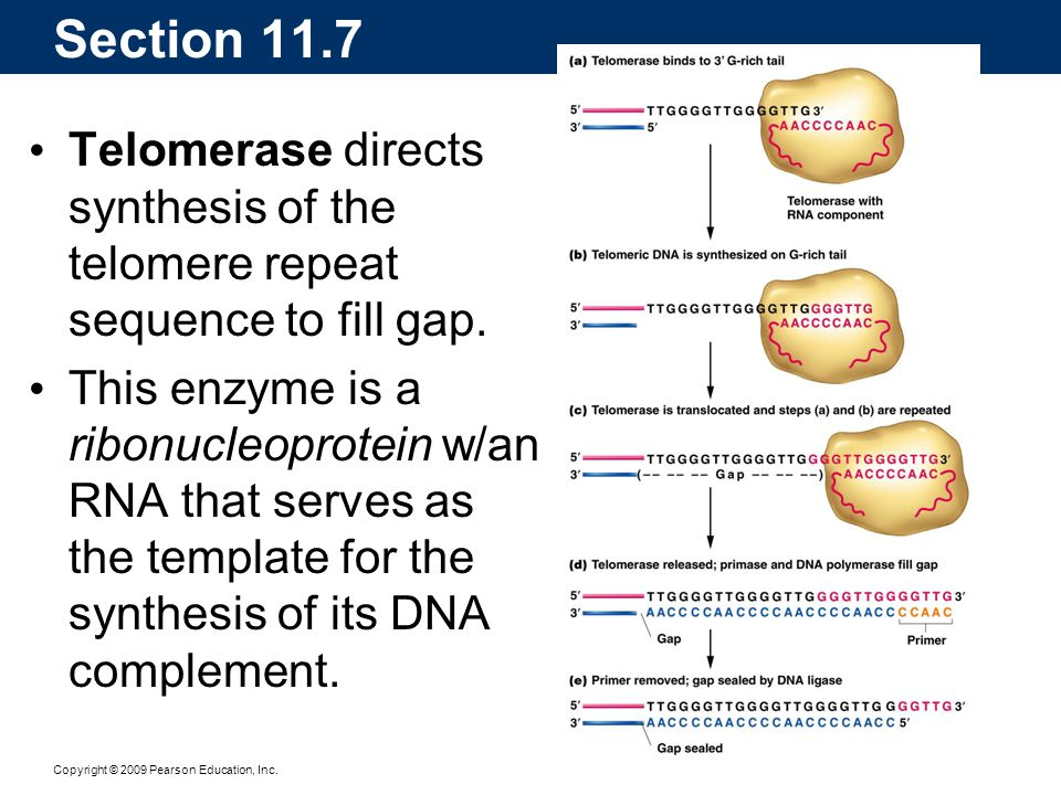 Copyright © 2009 Pearson Education, Inc. Telomerase directs synthesis of the telomere repeat sequence to fill gap. This enzyme is a ribonucleoprotein