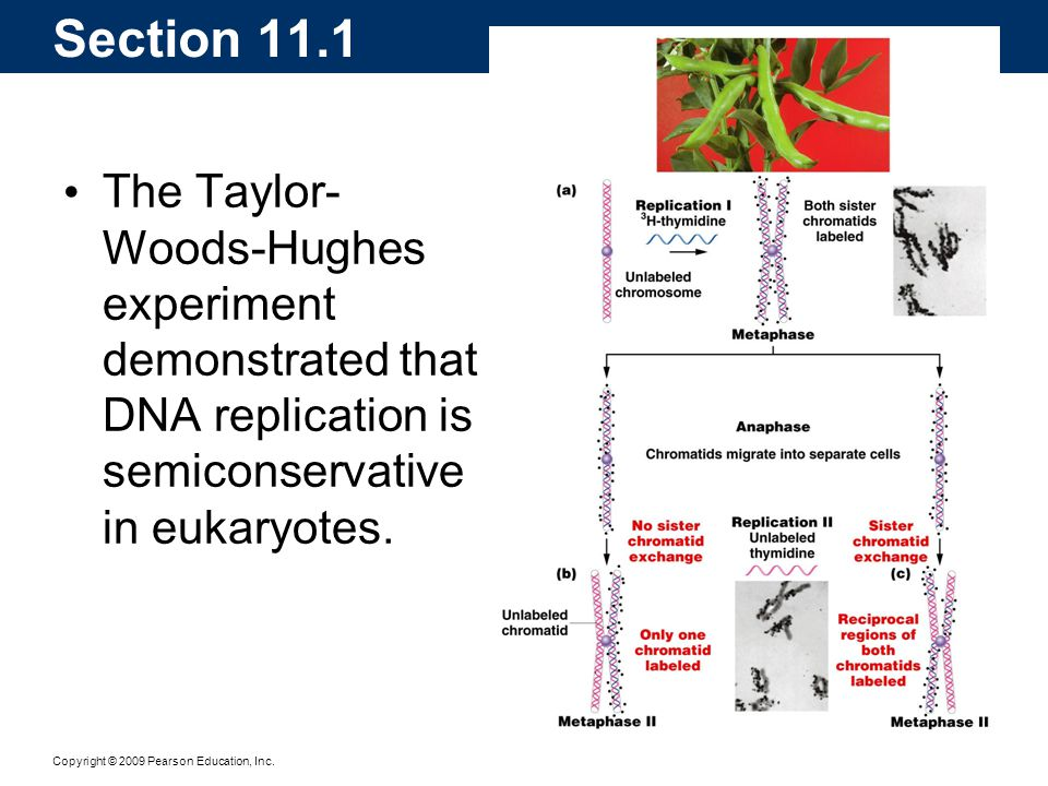 Copyright © 2009 Pearson Education, Inc. The Taylor- Woods-Hughes experiment demonstrated that DNA replication is semiconservative in eukaryotes. Sect