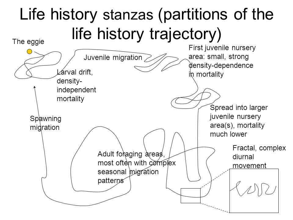 Life history stanzas (partitions of the life history trajectory) The eggie Larval drift, density- independent mortality Juvenile migration First juven