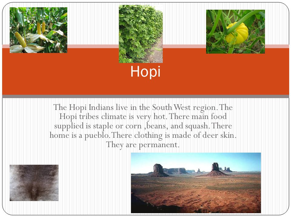 Hopi The Hopi Indians live in the South West region. The Hopi tribes climate is very hot. There main food supplied is staple or corn,beans, and squash