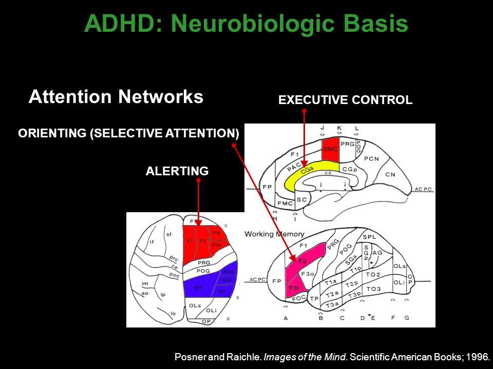 Neural Networks of Attention  Prefrontal cortex  Parietal cortex  Cingulate gyrus  Limbic structures (amygdala-hippocampus)  Basal ganglia  Thalamus  Brainstem (reticular formation)  Cerebellum Seidman LJ et al.