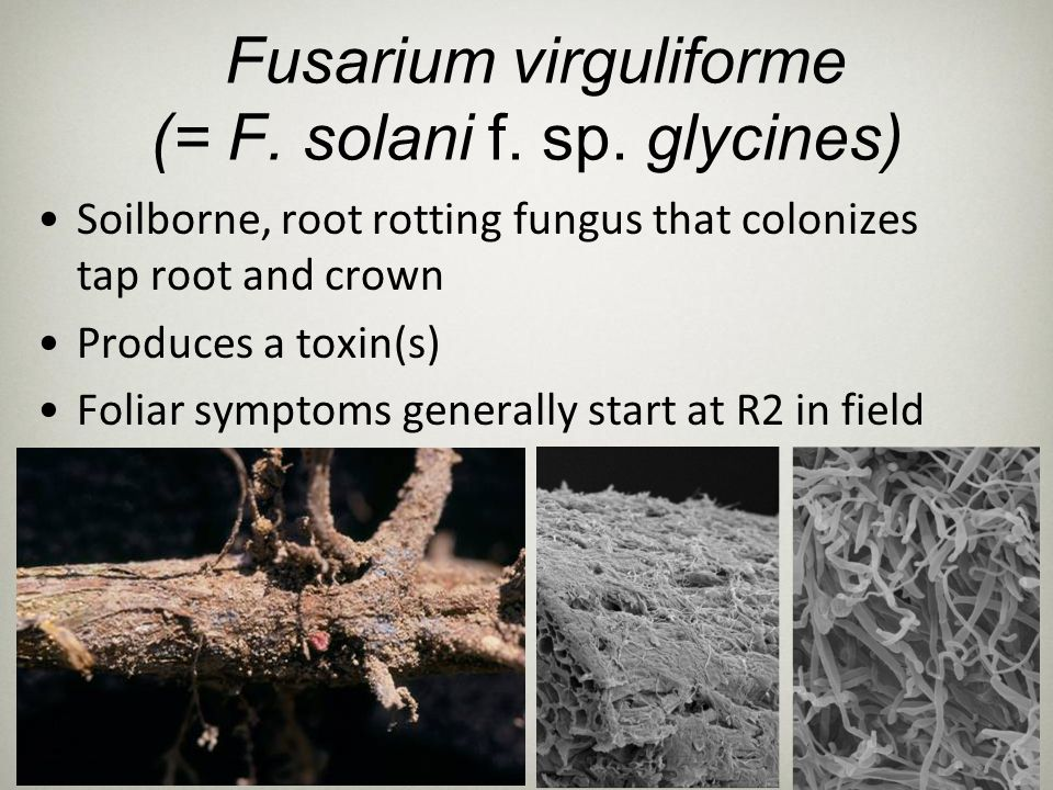 Objectives Identification of fungal genes involved in the development of SDS Identification and characterization of pathways involved in virulence and pathogenesis Detection of the karyotypic variation among F.