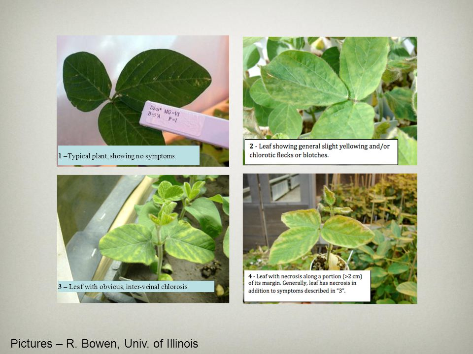 1 –Typical plant, showing no symptoms. 3 – Leaf with obvious, inter-veinal chlorosis Pictures – R. Bowen, Univ. of Illinois