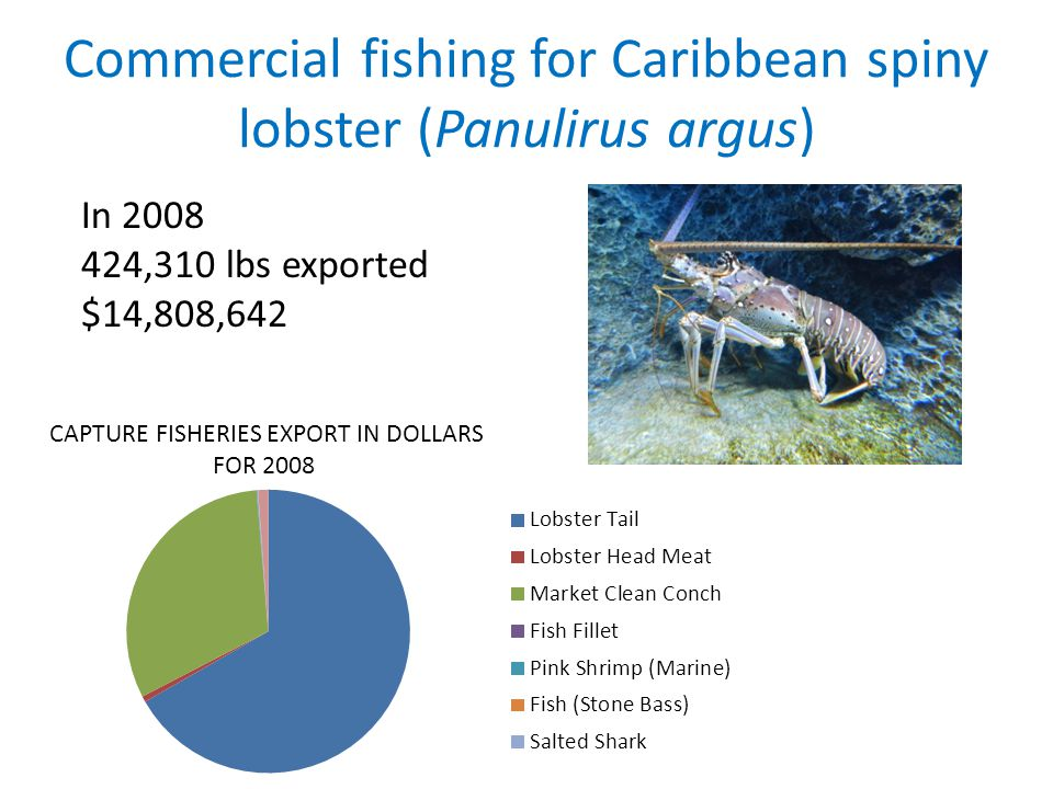 Commercial fishing for Caribbean spiny lobster (Panulirus argus) In 2008 424,310 lbs exported $14,808,642 CAPTURE FISHERIES EXPORT IN DOLLARS FOR 2008