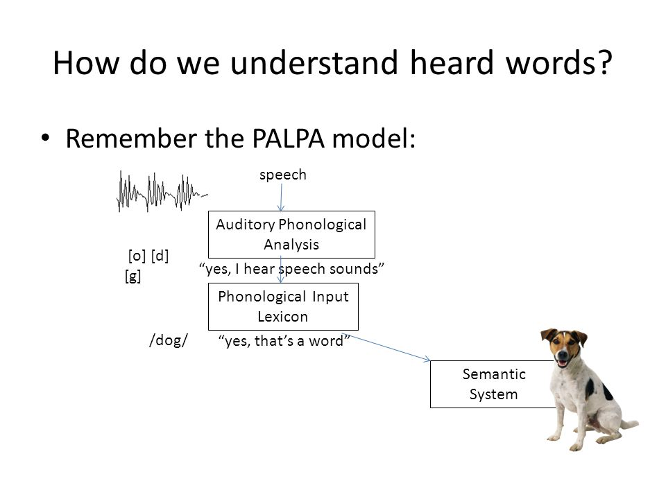 "How do we understand heard words? Remember the PALPA model: Semantic System speech Auditory Phonological Analysis ""yes, I hear speech sounds"" Phonolog"