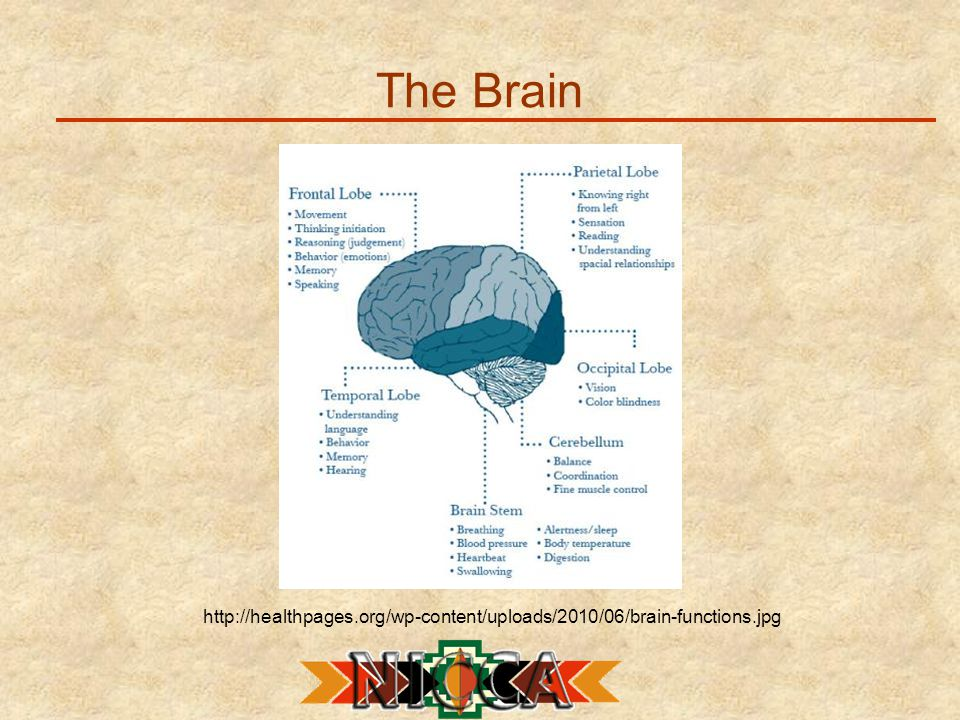 The Brain http://healthpages.org/wp-content/uploads/2010/06/brain-functions.jpg