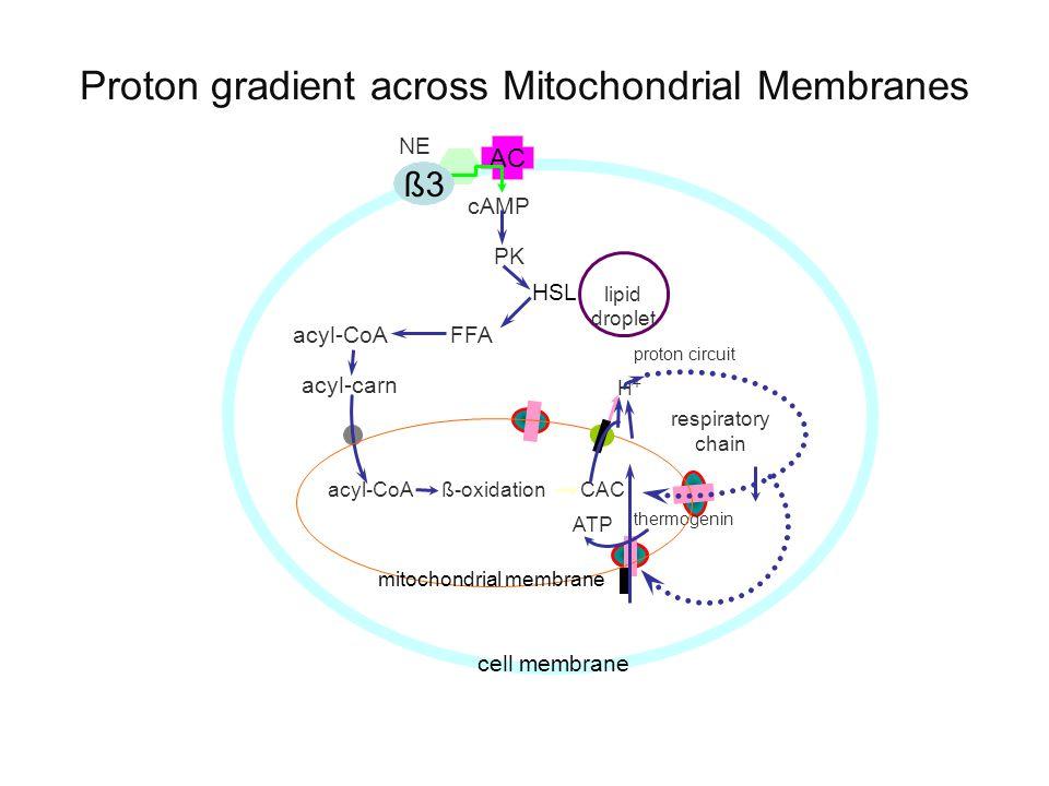 AC ß3 cAMP PK acyl-CoAFFA acyl-carn acyl-CoA ß-oxidationCAC ATP respiratory chain proton circuit H+H+ cell membrane NE HSL thermogenin mitochondrial membrane ß3 lipid droplet Proton gradient across Mitochondrial Membranes