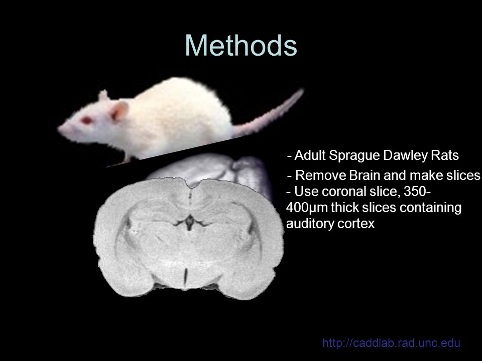 http://caddlab.rad.unc.edu Methods - Adult Sprague Dawley Rats - Remove Brain and make slices - Use coronal slice, 350- 400μm thick slices containing auditory cortex