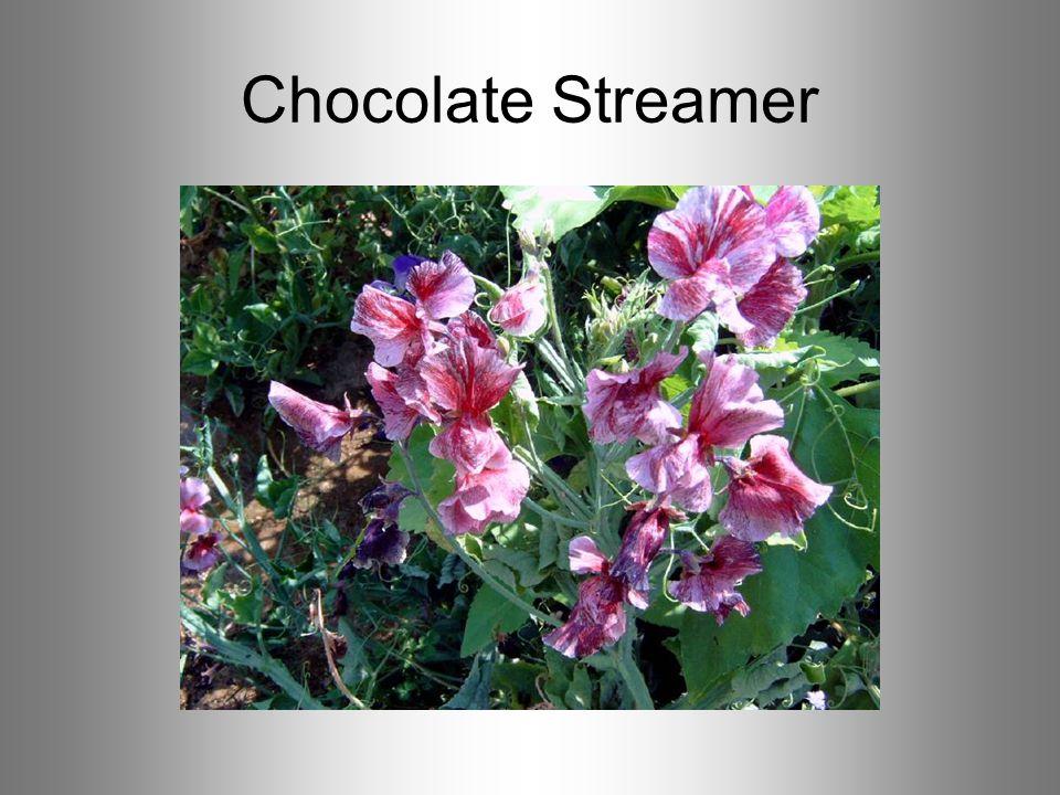 Chocolate Streamer