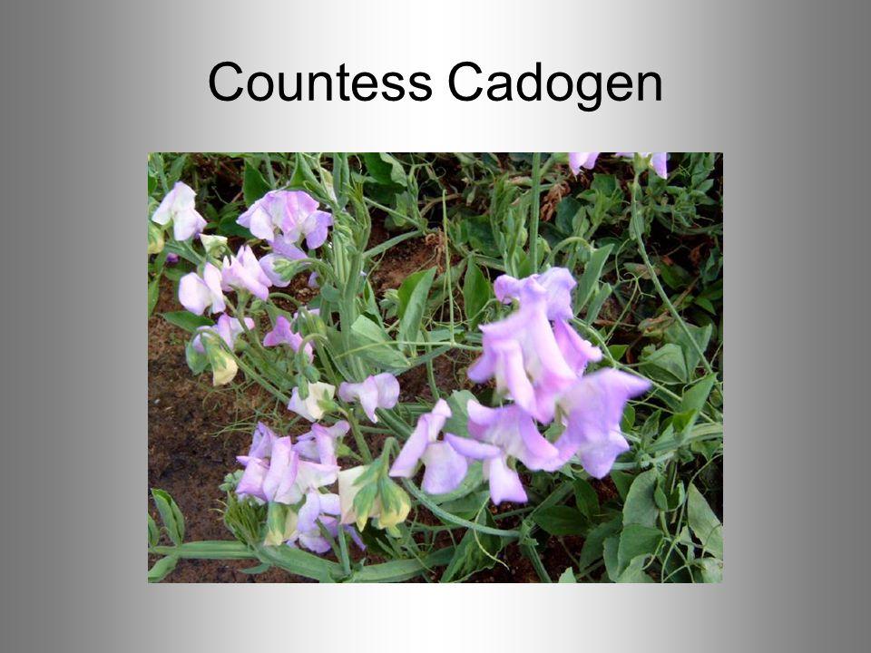 Countess Cadogen