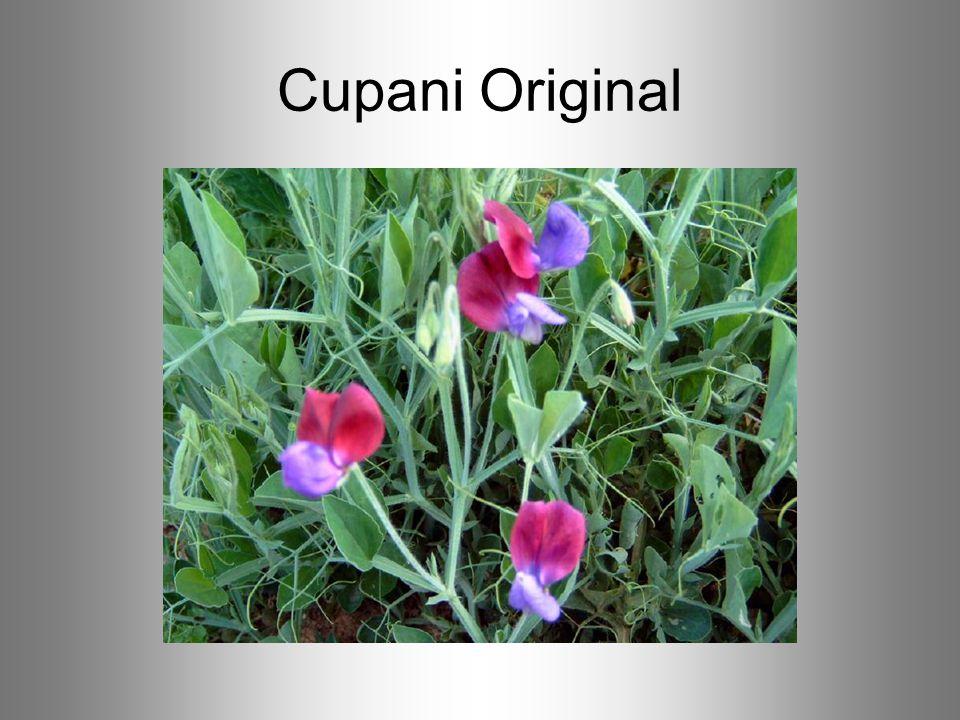 Cupani Original