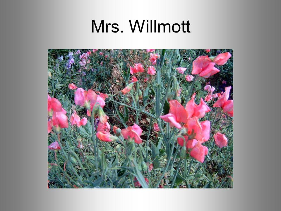 Mrs. Willmott