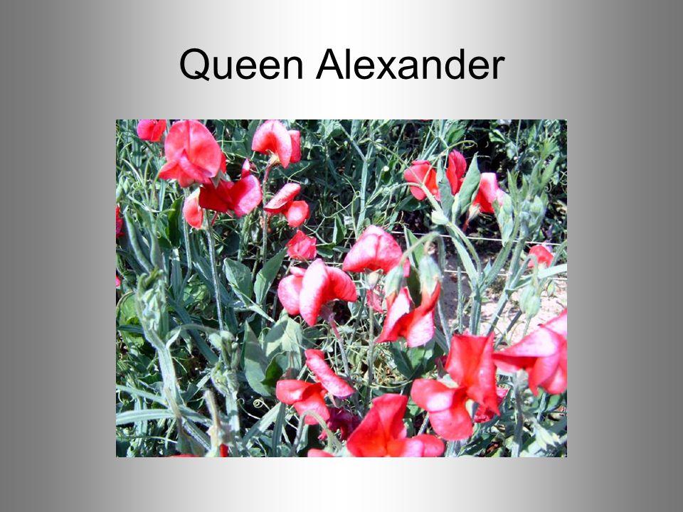 Queen Alexander
