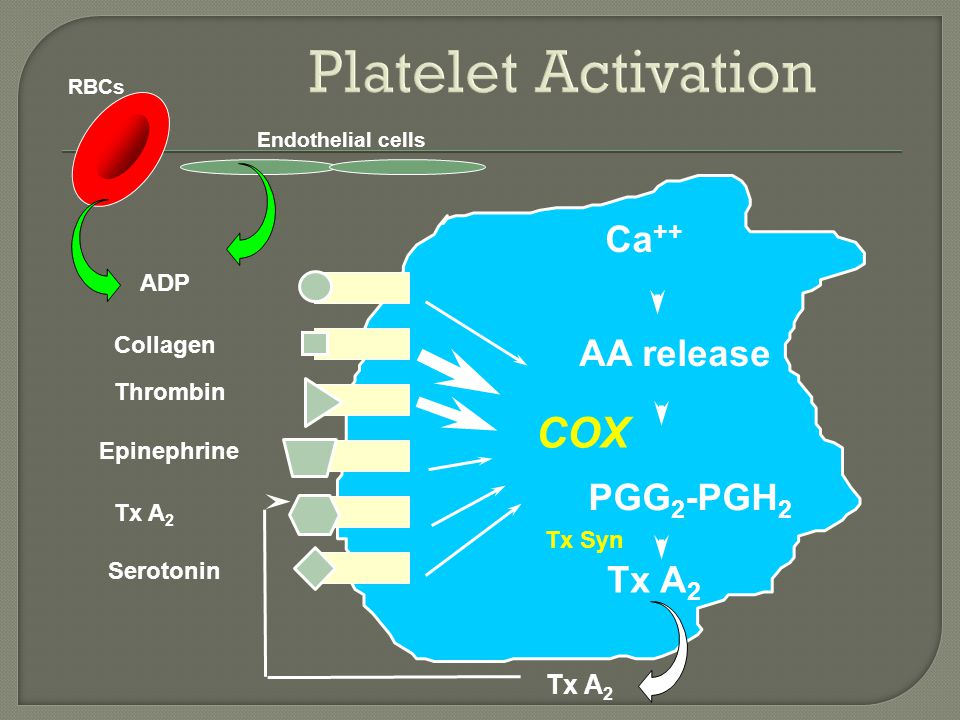 ADP Collagen Thrombin Epinephrine Tx A 2 Serotonin  Ca ++ PGG 2 -PGH 2 AA release Tx A 2 COX Tx Syn Tx A 2 RBCs Endothelial cells
