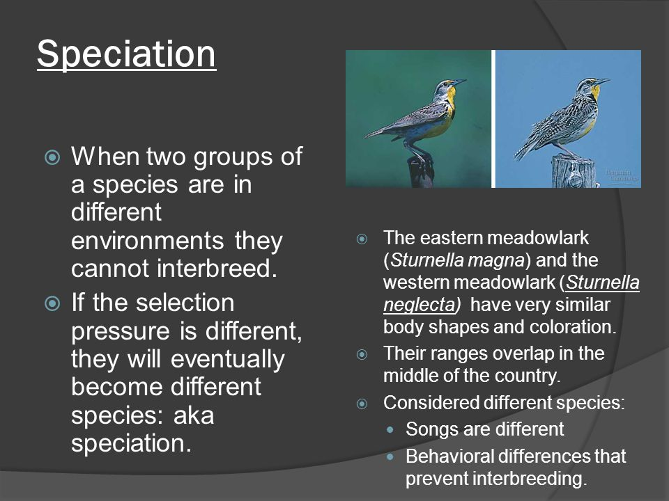 Speciation  When two groups of a species are in different environments they cannot interbreed.  If the selection pressure is different, they will ev