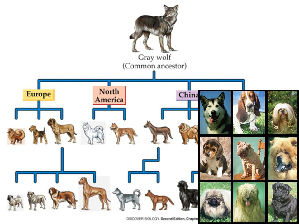 Example #3: Artificial Selection #1: The domestication of the wolf (or domestication of any animal) is a good example: Further selection of favored tr