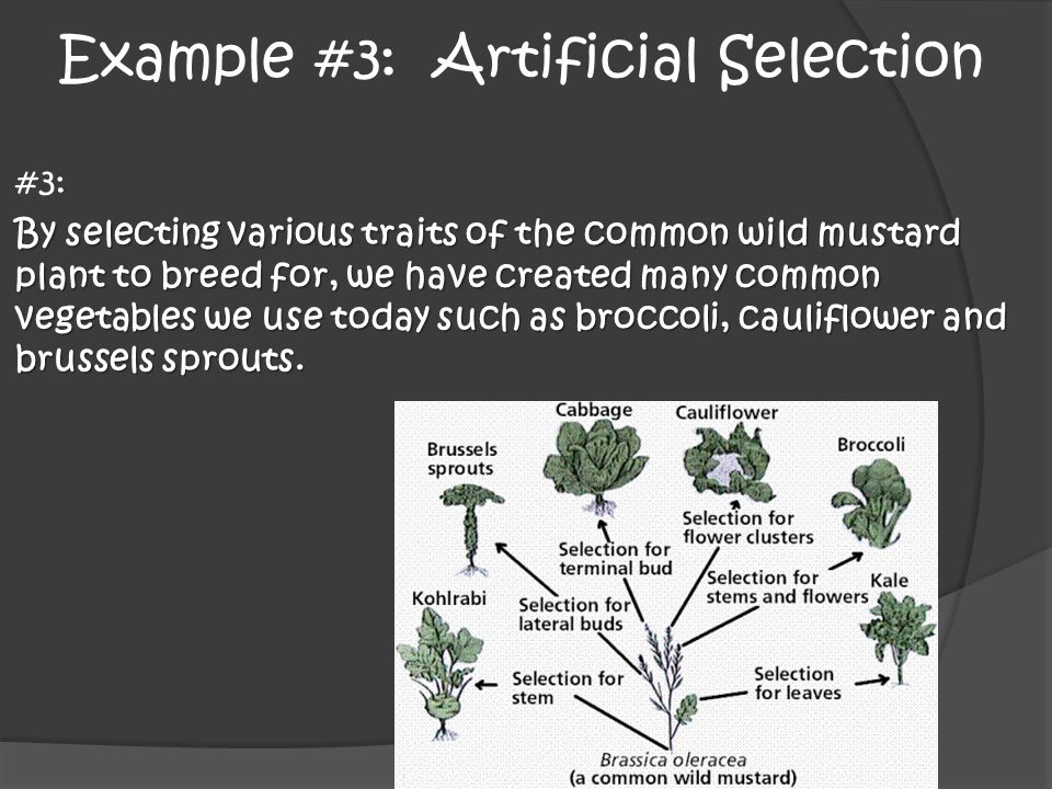 Example #3: Artificial Selection #3: By selecting various traits of the common wild mustard plant to breed for, we have created many common vegetables