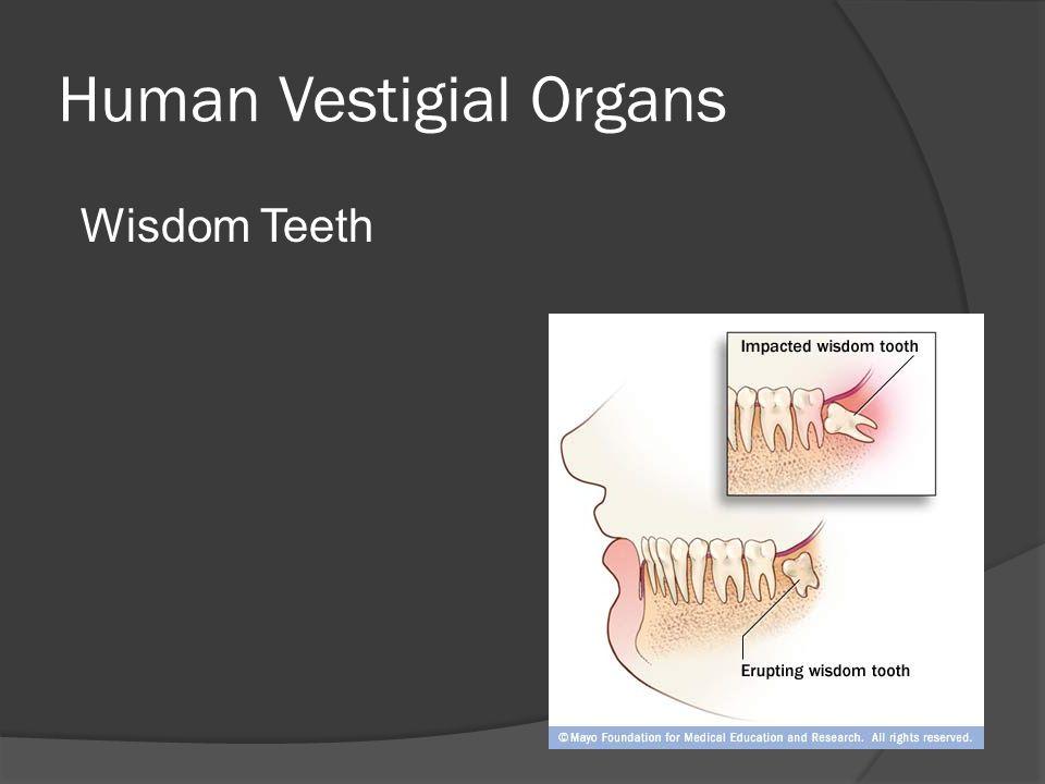 Human Vestigial Organs Wisdom Teeth