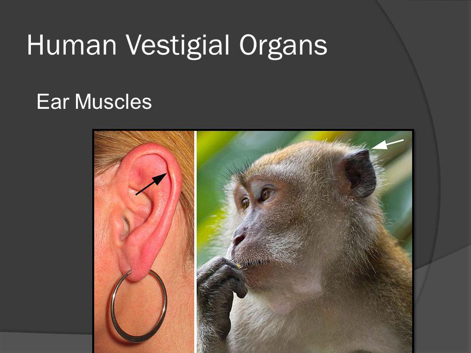 Human Vestigial Organs Ear Muscles