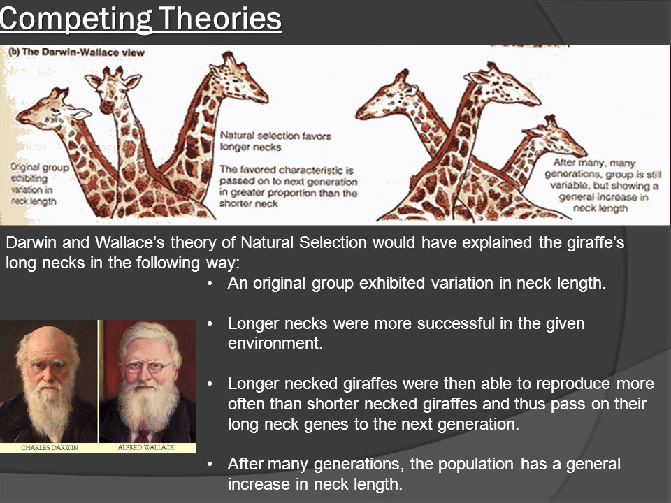 Competing Theories Darwin and Wallace's theory of Natural Selection would have explained the giraffe's long necks in the following way: An original gr