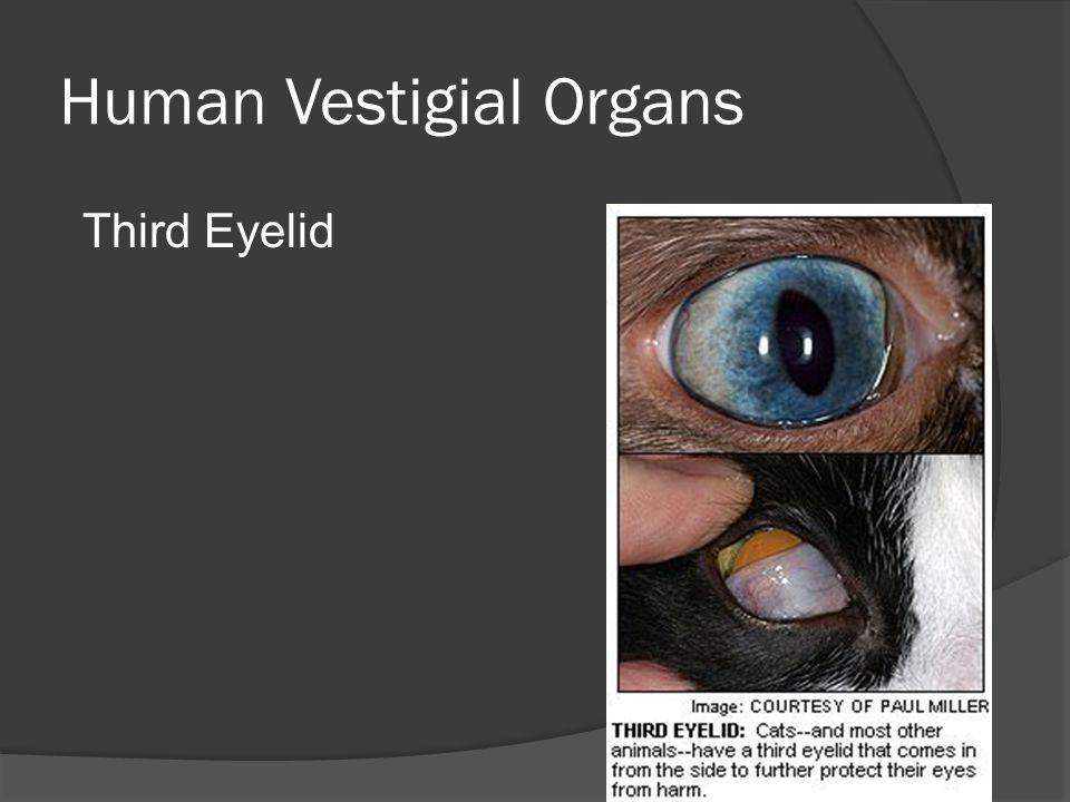 Human Vestigial Organs Third Eyelid