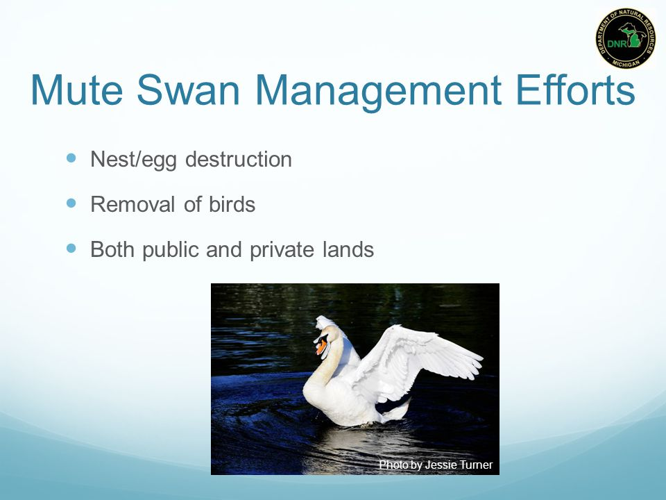 Mute Swan Management Efforts Nest/egg destruction Removal of birds Both public and private lands Photo by Jessie Turner