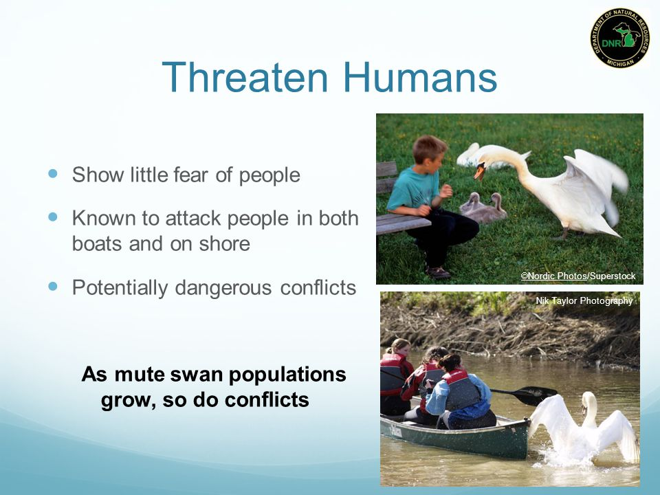 Threaten Humans Show little fear of people Known to attack people in both boats and on shore Potentially dangerous conflicts As mute swan populations grow, so do conflicts Nik Taylor Photography  Nordic Photos/Superstock