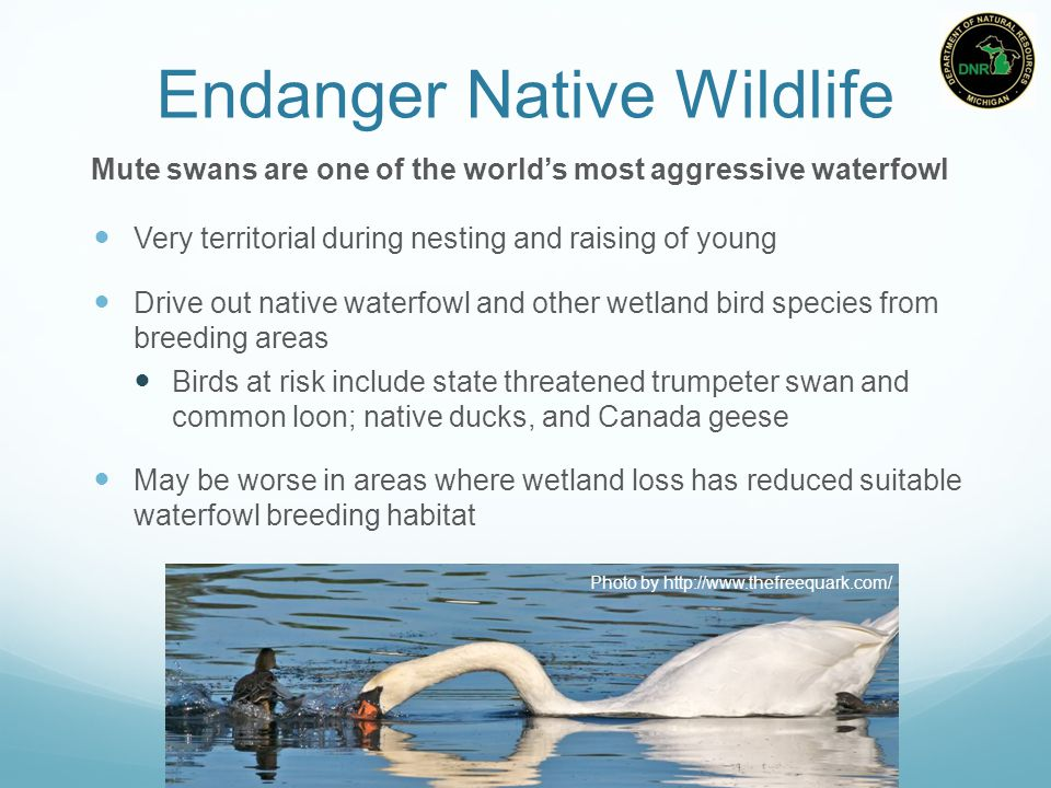 Endanger Native Wildlife Very territorial during nesting and raising of young Drive out native waterfowl and other wetland bird species from breeding areas Birds at risk include state threatened trumpeter swan and common loon; native ducks, and Canada geese May be worse in areas where wetland loss has reduced suitable waterfowl breeding habitat Mute swans are one of the world's most aggressive waterfowl Photo by http://www.thefreequark.com/