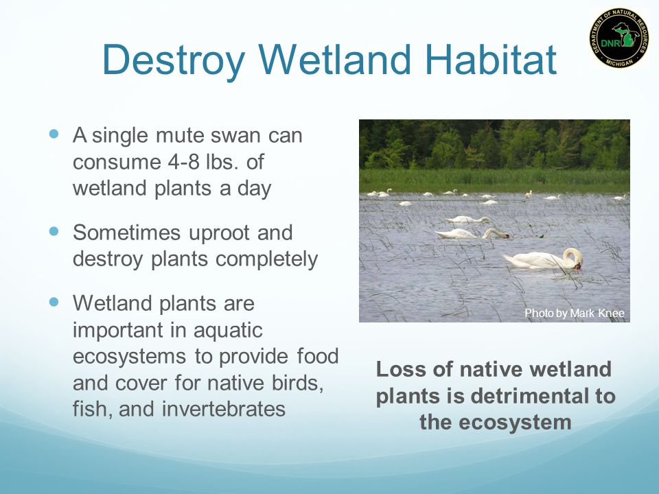 Destroy Wetland Habitat A single mute swan can consume 4-8 lbs.